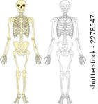 A human skeleton - stock vector