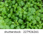 Oregano With Water Droplets....