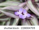 Tradescantia Zebrina Flower ...