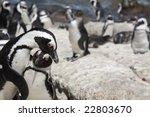 african penguin  spheniscus... | Shutterstock . vector #22803670
