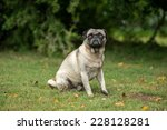 old brown black and grey pug... | Shutterstock . vector #228128281