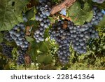 bunches of grapes on vine | Shutterstock . vector #228141364