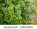 Buxus Sempervirens Bush  ...