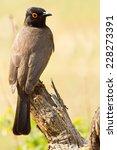 Small photo of The African Red-eyed Bulbul or Black-fronted Bulbul (Pycnonotus nigricans) ~ South Africa