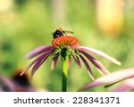 Bumblebee On Flower Echinacea