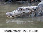 Head Of A Crocodile  Alligator  ...