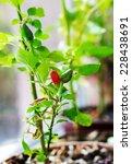 Capsicum Annuum. Cultivation O...