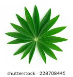 Isolated On White Green Leaf...