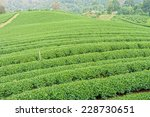 the herb tea plant or camellia... | Shutterstock . vector #228730651