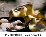 Yellow Muscovy Duck Ducklings...