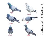 Pigeon Birds Isolated On White...