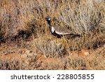 Small photo of Black Korhaan, Afrotis afraoides in grass Kalahari desert, South Africa