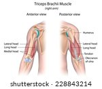 triceps brachii muscle labeled. | Shutterstock . vector #228843214