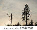 Silhouettes Of On Dead Pine...
