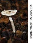 Small photo of mushroom macro photo Amanita verna