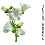 mallow flowers isolated on... | Shutterstock . vector #229039939