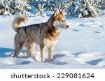 Siberian Husky In Winter Forest