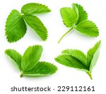 Strawberry Leaf Isolated On...