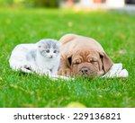 Stock photo small kitten near sleeping bordeaux puppy dog 229136821