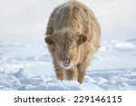 Cow In The Snow. Young Cow Wit...