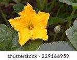 Pumpkin Flower On The Farm