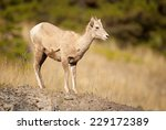 Rocky Mountain Bighorn Sheep (Ovis canadensis canadensis) standing at the top of a hill. Kananaskis Valley, Alberta, Canada, North America. - stock photo