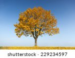 Maple Tree In Autumn With...