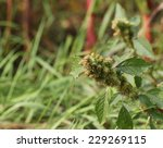 Small photo of Green amaranth (Amaranthus powellii) inflorescence.