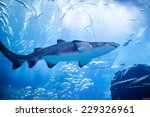 Shark In An Aquarium