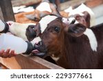 Stock photo little baby cow feeding from milk bottle 229377661