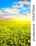 flowering conola field on a... | Shutterstock . vector #229475041