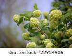 Blossom Of Guelder Rose  ...