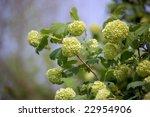 Blossom Of Guelder Rose  ...