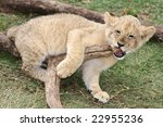 Young Lion Cub Playing With A...