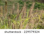 Closeup Of Foxtails  Called...