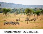 zebras grazing in serengeti... | Shutterstock . vector #229582831