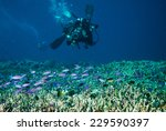 diver and group of anthias in... | Shutterstock . vector #229590397
