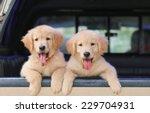 Stock photo golden retriever dog 229704931