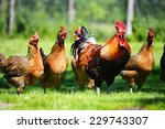 chickens on traditional free... | Shutterstock . vector #229743307