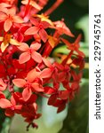 Close Up Attractive Red Ixora...