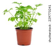 A Parsley Plant In A Flowerpot...