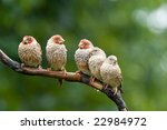 5 Red Headed Finches Perched I...