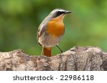 Cape Chat Robin Adult Breeding...