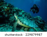 diver and green sea turtle in... | Shutterstock . vector #229879987