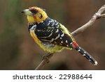 Crested Barbet Adult Breeding...
