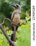 Small photo of African grey hornbill rare sighting in garden