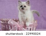 ragdoll kitten sitting in pink... | Shutterstock . vector #22990024