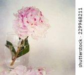 peonies flower  | Shutterstock . vector #229968211