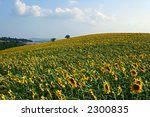 sunflowers hill in italy | Shutterstock . vector #2300835