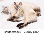Stock photo two six months old siamese kittens sleeping together on a bed 230091364